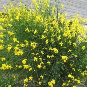 Genêt d'Espagne (Spartium junceum) – Pot de 3 litres – PLANTES ET JARDINS – Jardinerie en ligne
