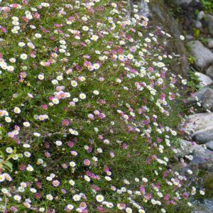 Vergerette- Erigeron de karvinski blanc rose – Le lot de 3 godets