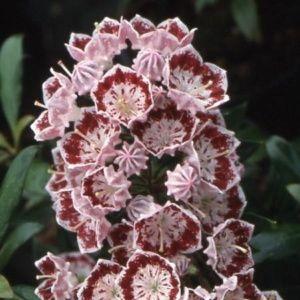 Laurier des montagnes 'Minuet' (Kalmia latifolia)