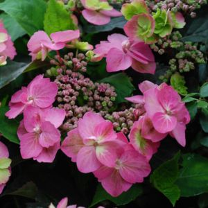 Hortensia 'Cotton Candy®' – pot de 5 litres