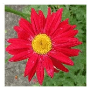 Pyrethrum roseum robinson's red