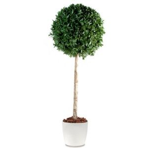 Diplad nia semer planter bouturer entretenir jaime - Laurier tige en pot ...