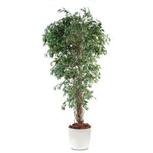 Ficus lianes petites feuilles H180cm semi-artificiel pot elho blanc