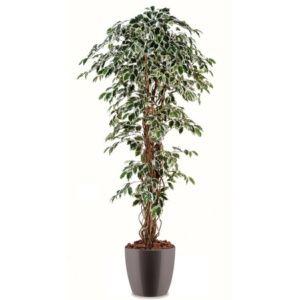 Ficus lianes panaché H180cm semi-artificiel pot elho gris