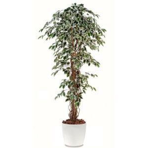 Ficus lianes panaché H180cm semi-artificiel pot elho blanc