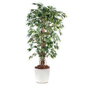 Ficus lianes grandes feuilles H150cm  pot elho blanc