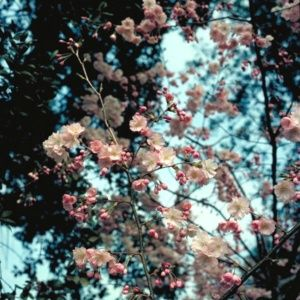 Cerisier à fleurs japonais 'Accolade' (Prunus 'Accolade')
