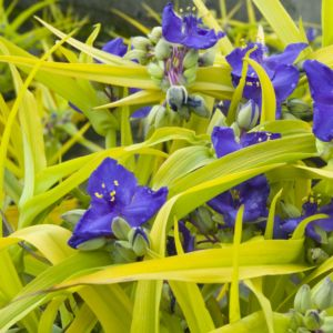 Ephemere de virginie – Tradescantia 'Sweet Kate' – Le lot de 3 godets