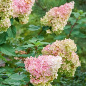 Hortensia paniculata Vanille Fraise – Pot de 5 litres