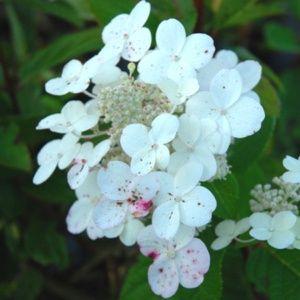 Hortensia paniculata 'Early Sensation'® (Hydrangea paniculata 'Early Sensation'®) – PLANTES ET JARDINS – Jardinerie en ligne