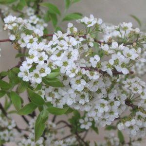 Spirée arguta (Spiraea x arguta)