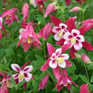 Ancolie 'Crimson Star' (rouge et blanche)