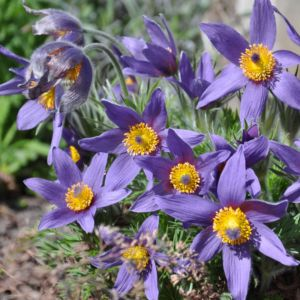 Anemone pulsatille violette – Le lot de 3 godets
