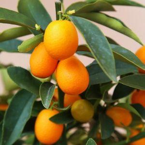 Kumquat – pot de 5 litres, quart-tige, hauteur 60/80 cm – PLANTES ET JARDINS – Jardinerie en ligne