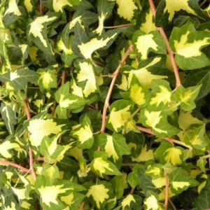 Lierre commun 'Goldheart' – pot de 3 litres (18 à 24 mois de culture) – PLANTES ET JARDINS – Jardinerie en ligne