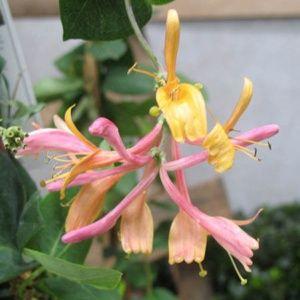 Chèvrefeuille chinensis (Lonicera) – pot de 3 litres – PLANTES ET JARDINS – Jardinerie en ligne