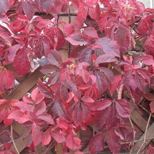 Vigne vierge Engelmanii (Parthenocissus quinquefolia Engelmanii) – Pot de 3 L – PLANTES ET JARDINS – Jardinerie en ligne