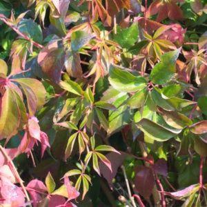 Vigne vierge quinquefolia 'Murorum' – pot de 3 litres (18 à 24 mois de culture)