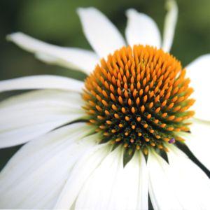 Echinacea 'Pow Wow White' – Pot de 2 litres