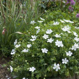 Geranium sanguin blanc – Le lot de 3 godets