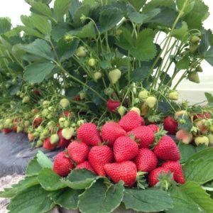 Fraisier 'Magnum', le lot de 20 plants – PLANTES ET JARDINS – Jardinerie en ligne