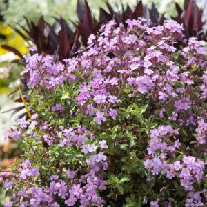 Saponaire rose(Saponaria ocymoides) – Lot de 3 godets de 7 cm
