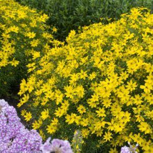 Coreopsis verticille jaune d'or – Le lot de 3 godets