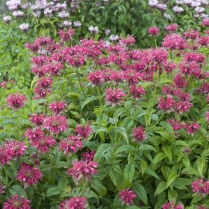 Monarda cambridge scarlet – Lot de 3 godets de 7 cm