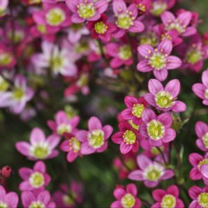 Saxifraga arendsii 'Ware's Crimson' – Lot de 3 plants