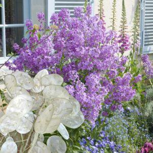 Lunaria rediviva violette – Lot de 3 godets de 7 cm