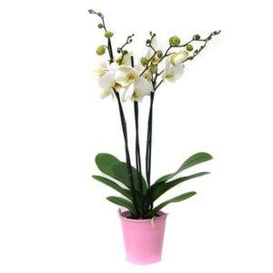 Orchidée Blance en fleurs (3 tiges florales) + Cache-pot (14 cm de diamètre) plante verte – PLANTES ET JARDINS – Jardinerie en ligne