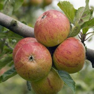 Pommier 'Cox Orange' : taille en quenouille, en pot