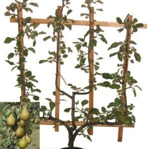 Poirier 'Conférence' Palmette verrier, pot 15 litres – PLANTES ET JARDINS – Jardinerie en ligne