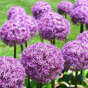 Ail décoratif  'Purple Sensation'(lot de 10)