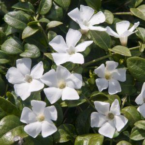 Petite pervenche blanche – Vinca minor alba – Lot de 3 godets de 7 cm