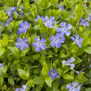 Vinca minor blue – Lot de 3 godets de 7 cm