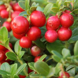 Cranberry, canneberge – En pot de 5 Litres