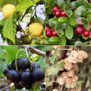 Lot de 4 fruits rouges : les originaux – 4 pots de 2/5 litres