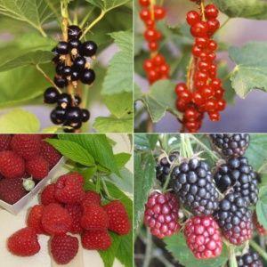 Lot de 4 fruits rouges : les indispensables – 4 pots de 2 litres – PLANTES ET JARDINS – Jardinerie en ligne