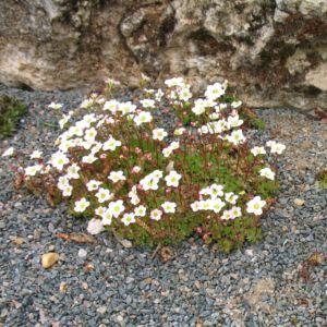 Saxifraga arendsii touran white – Lot de 3 godets de 7 cm