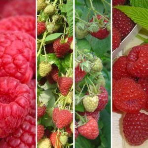 Lot de 4 framboisiers : 5 mois de récolte – 4 pots de 2 L – PLANTES ET JARDINS – Jardinerie en ligne