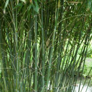 Bambou en pot (15 litres) – Phyllostachys bissetii – hauteur 200/250 cm – PLANTES ET JARDINS – Jardinerie en ligne