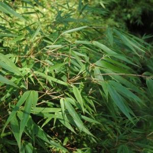Petit bambou – Fargesia rufa – bambou en pot ( 5 litres) – hauteur 40/60 cm – PLANTES ET JARDINS – Jardinerie en ligne