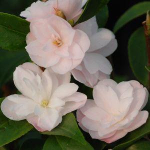 Camélia champêtre 'Cinnamon Cindy' – Pot de 4 litres