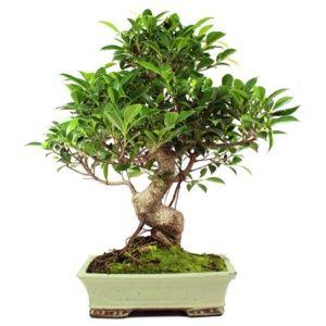 Bonsaï d'intérieur : Ficus retusa (16 ans) – hauteur 40-50cm