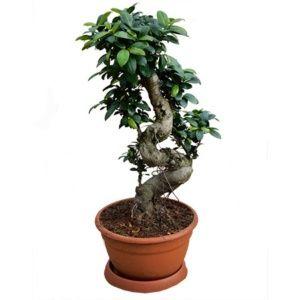 Ficus microcarpa Ginseng – Coupe de 27 cm Hauteur 75/80cm – PLANTES ET JARDINS – Jardinerie en ligne