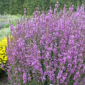 Lythrum salicaria – Lot de 3 godets de 7 cm
