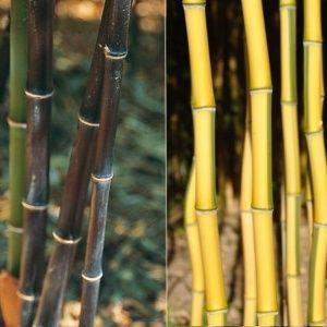 Lot de bambou en pot (10 pots de 2 litres) – pour 10 m de haie – hauteur 30/40 cm –   – PLANTES ET JARDINS – Jardinerie en ligne