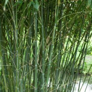 Bambou moyen : Phyllostachys bissetii – Pot de 7 litres, hauteur 100/150cm