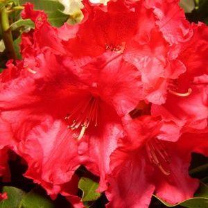 Rhododendron 'Markeeta's Prize' – Pot de 7,5 litres, hauteur 40/50 cm – PLANTES ET JARDINS – Jardinerie en ligne